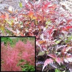 Astilbe simplicifolia Inshriach Pink / Astilbe