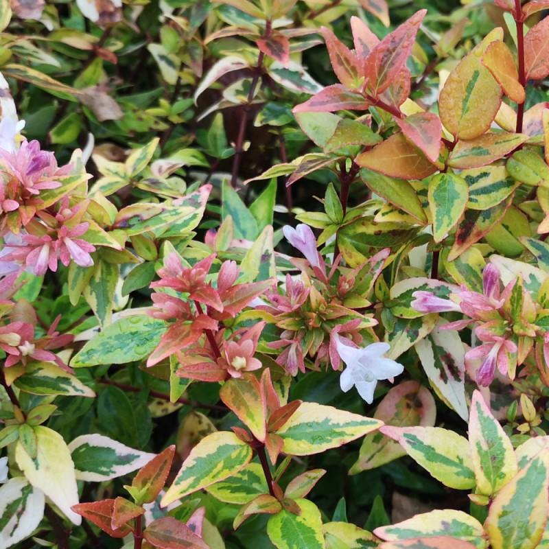 Abelia grandiflora Kaleidoscope - Broget Abelia