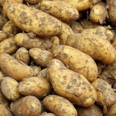 Glorietta Læggekartofler - 25 Kg.