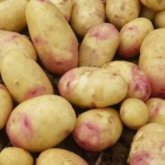 Carolus Læggekartofler -- 25 Kg.