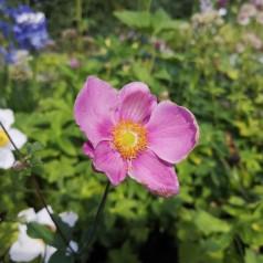 Anemone hupehensis Splendens - Anemone