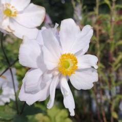 Anemone hybrid Dreaming Swan - Anemone