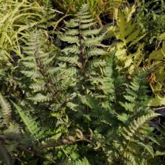 Athyrium niponicum Pictum (Metallicum) - Japansk Fjerbregne