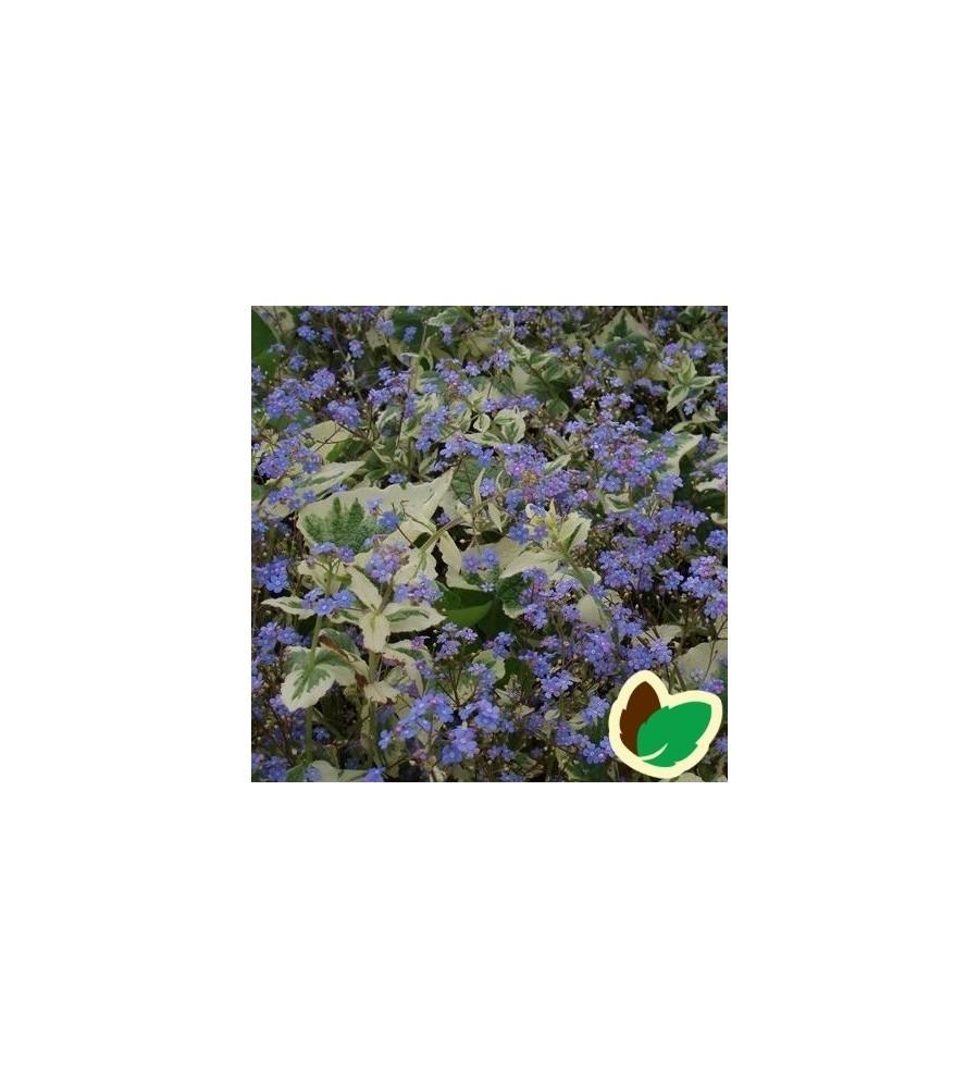 Brunnera macrophylla Variegata / Gul-Hvidrandede Kærmindesøster