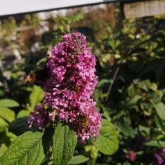 Buddleja davidii Pink Delight / Sommerfuglebusk
