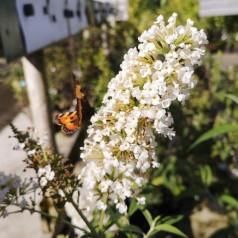 Buddleja davidii White Profusion / Sommerfuglebusk