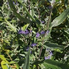 Caryopteris clandonensis Kew Blue / Blåskæg