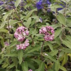 Caryopteris clandonensis Stephi (Lisstep) - Lyserød Blåskæg