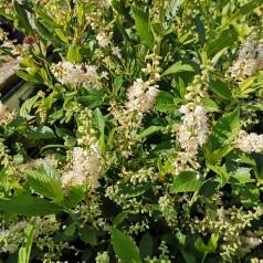 Clethra alnifolia Clea / Konvalbusk
