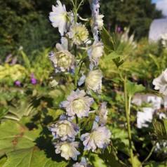 Delphinium hybrid Moonlight / Ridderspore
