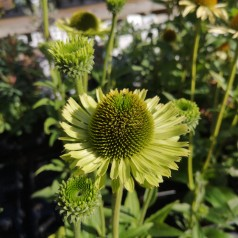 Echinacea purpurea Green Jewel / Purpursolhat