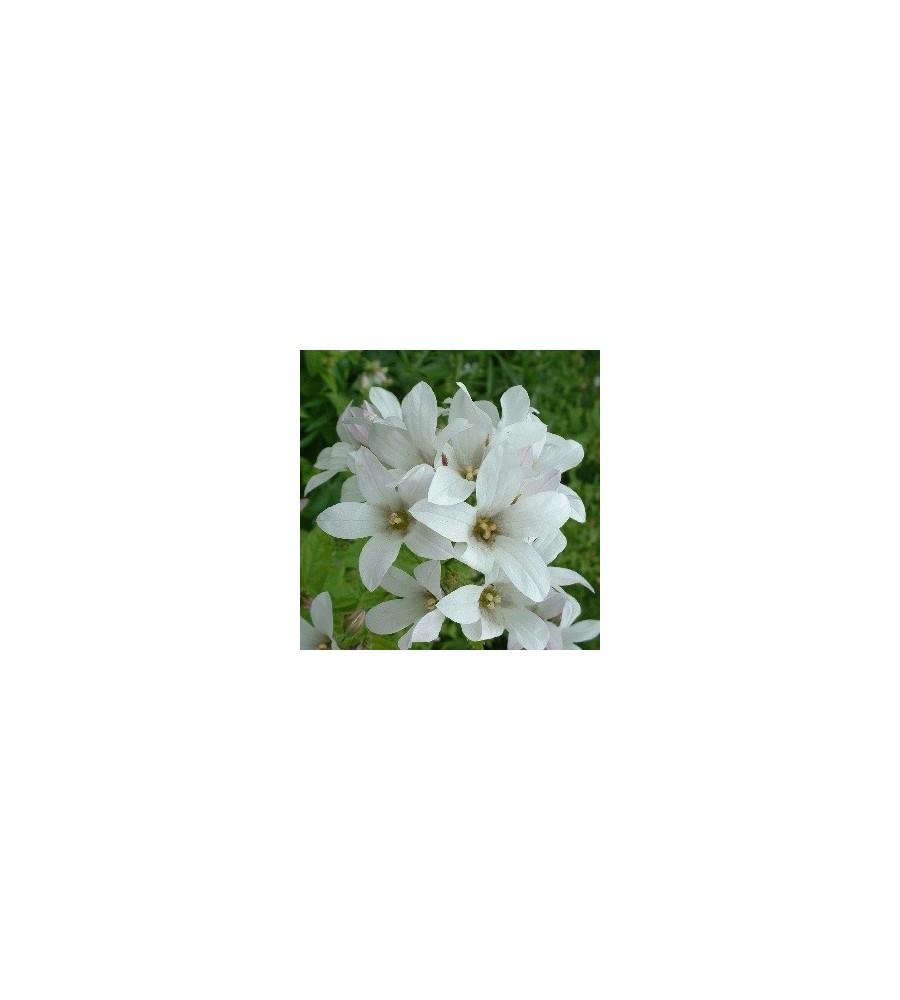 Campanula lactiflora White Pouffe / Mælkeklokke