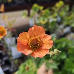Geum hybrid Totally Tangerine / Nellikerod