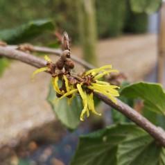 Hamamelis japonica Pendula / Hængende Troldnød
