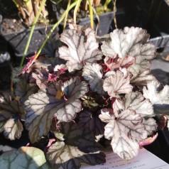 Heuchera hybrid Jade Gloss / Alunrod