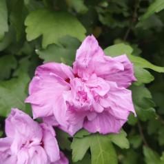 Hibiscus syriacus Ardens - Syrisk Rose