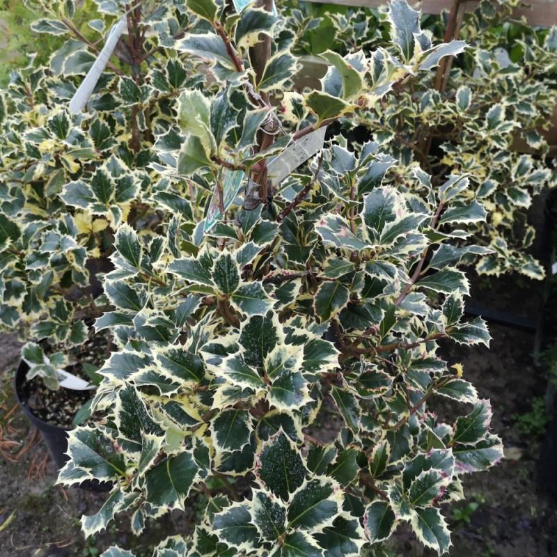 Ilex aquifolium Silver Queen - Hvidbroget kristtorn / 50-60 cm.