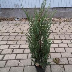 Juniperus virginiana Blue Arrow - Søjleene / 50-60 cm.