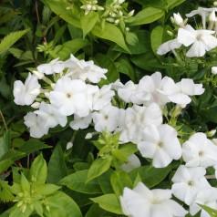 Phlox paniculata Adessa White / Høstfloks