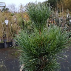 Cembrafyr - Pinus cembra 30-40 cm.