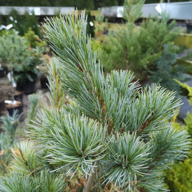 Penselfyr - Pinus parviflora Glauca 40-50 cm.