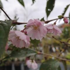 Prunus sargentii Accolade - Sakhalin Kirsebær - 120 cm. stamme