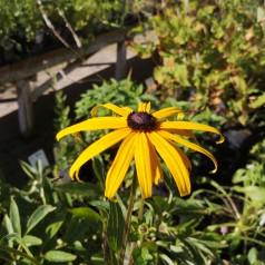 Rudbeckia fulgida Goldsturm / Solhat