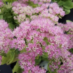 Sedum spectabile Brilliant / Sankthansurt