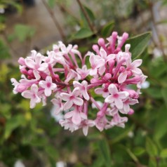 Syringa microphylla Superba - Dværgsyren