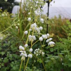 Thalictrum delavayi Splendide White - Violfrøstjerne