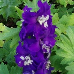 Delphinium pacific Magic Fountain Mørkeblå / Ridderspore