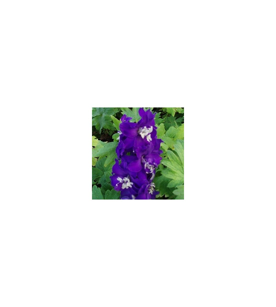 Delphinium pacific Magic Fountain Mørkeblå / Ridderspore