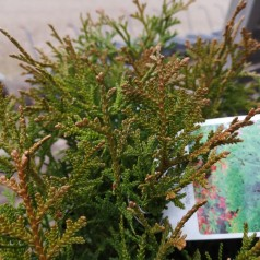 Thujopsis dolobrata Nana - Kyllingeben / 20-25 cm.