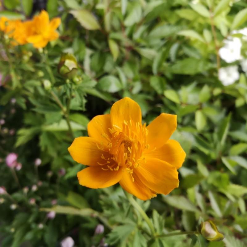 Trollius chinensis Golden Queen / Kinesisk Engblomme
