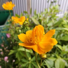 Trollius chinensis Golden Queen / Kinesisk Engblomme
