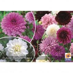 Dahlia Mix Purple Blend - Georgin - 3 stk