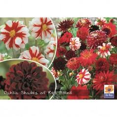 Dahlia Shades of Red Blend / Georgin Mix - 3 stk