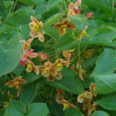 Epimedium warleyense Orange Queen / Bispehue