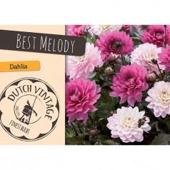 Dahlia Best Melody - Georgin 2 stk - Dutch Vintage