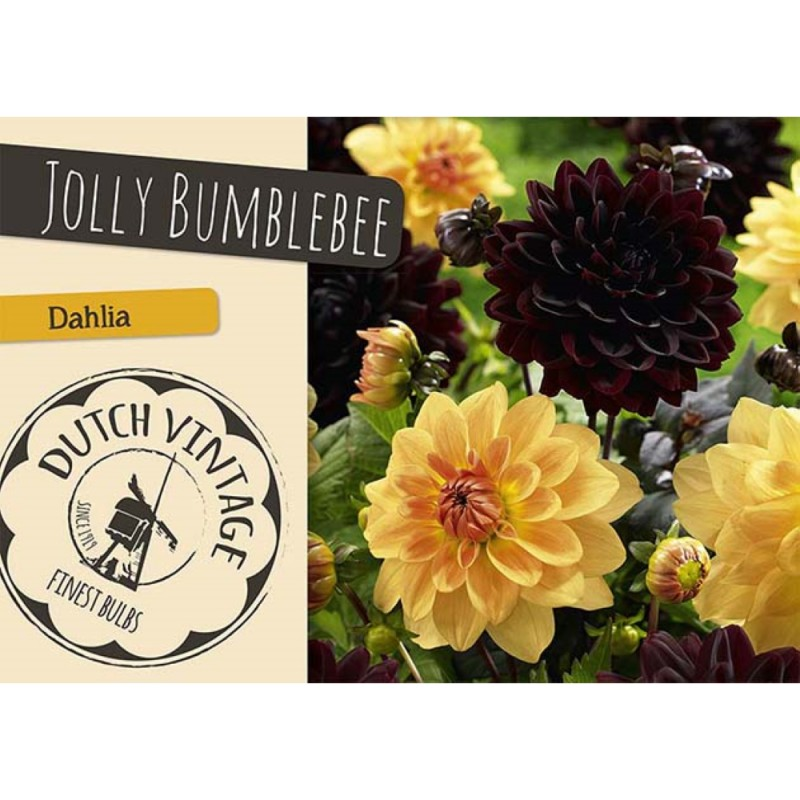 Dahlia Jolly Bumblebee - Georgin 2 stk - Dutch Vintage