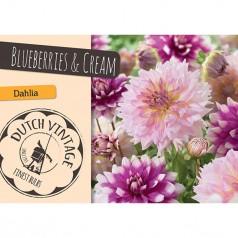 Dahlia Blueberries & Cream - Georgin 2 stk - Dutch Vintage