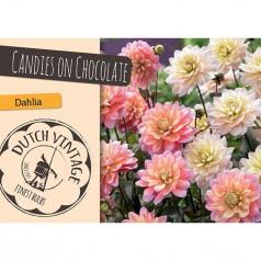 Dahlia Candies on Chocolate - Georgin 2 stk - Dutch Vintage