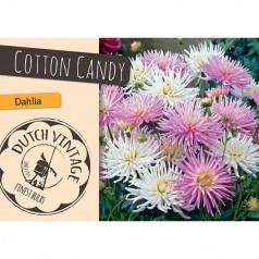 Dahlia Cotton Candy  - Georgin 2 stk - Dutch Vintage
