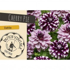 Dahlia Cherry Pie  - Georgin 2 stk - Dutch Vintage