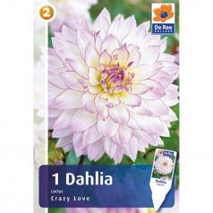 Dahlia Cactus Crazy Love / Georgin