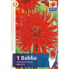 Dahlia Decorative Apache / Georgin