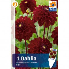 Dahlia Decorative Red Jill - Georgin