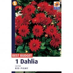Dahlia Cactus Red Pigmy - Georgin