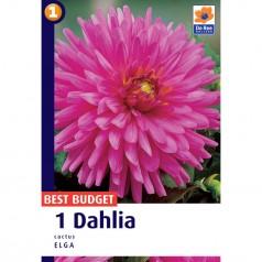 Dahlia Cactus Elga - Georgin