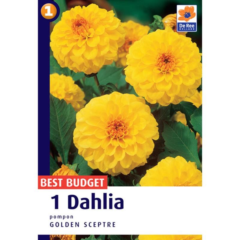 Dahlia Pompon Golden Sceptre - Georgin